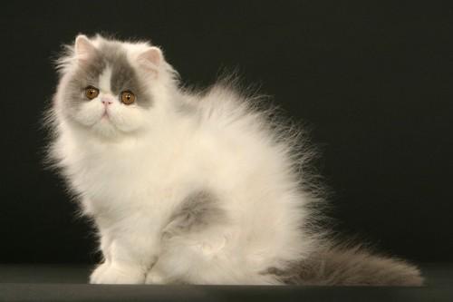 静電気で毛が逆立ったネコ