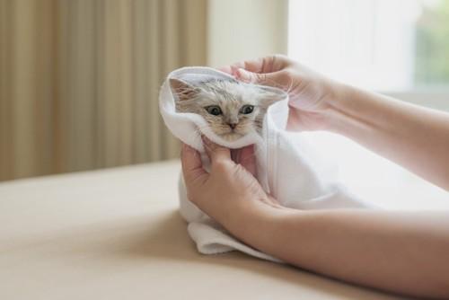 タオルドライ中の猫