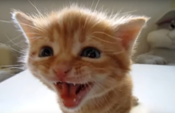 大声で鳴く子猫