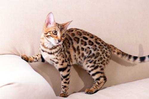 ソファの上で振り返るベンガル猫