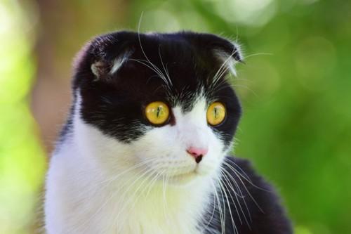 真ん丸な目のスコティッシュホールド