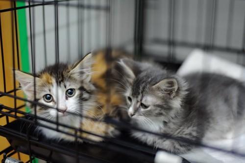 ケージの中で寄り添う二匹の子猫