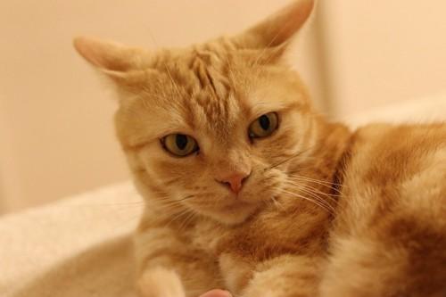 イカ耳をしている猫