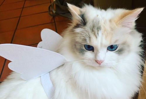 天使の羽を付けたラグドール