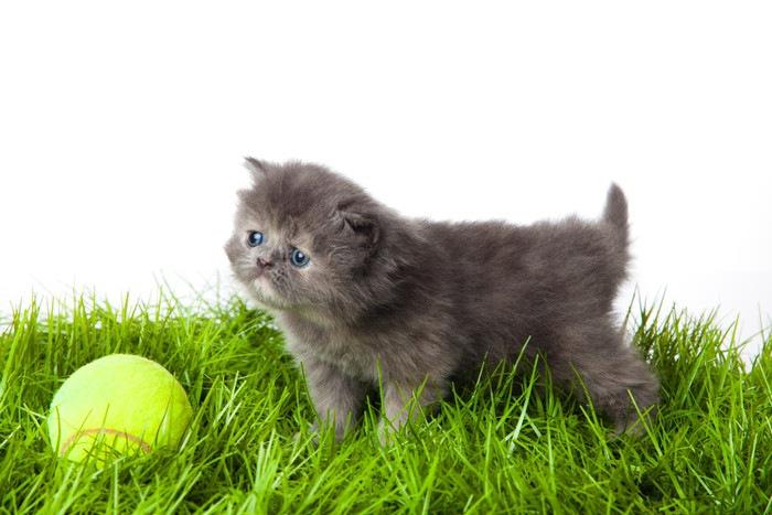 テニスボールと猫