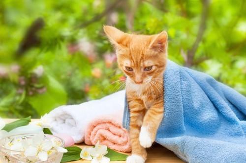 青いタオルをかけた子猫