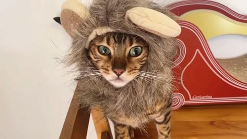 ライオンの被り物をかぶった猫