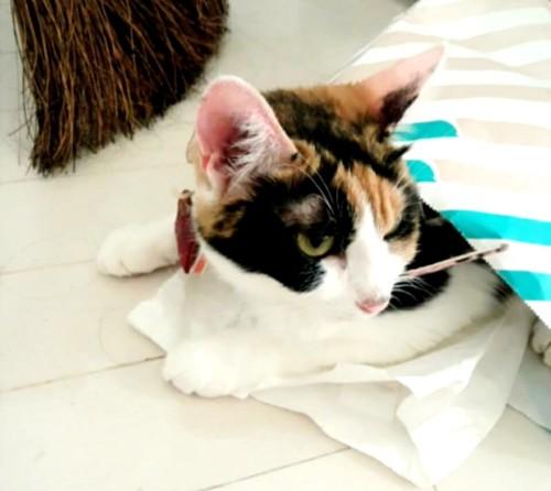 三毛猫イメージ画像1