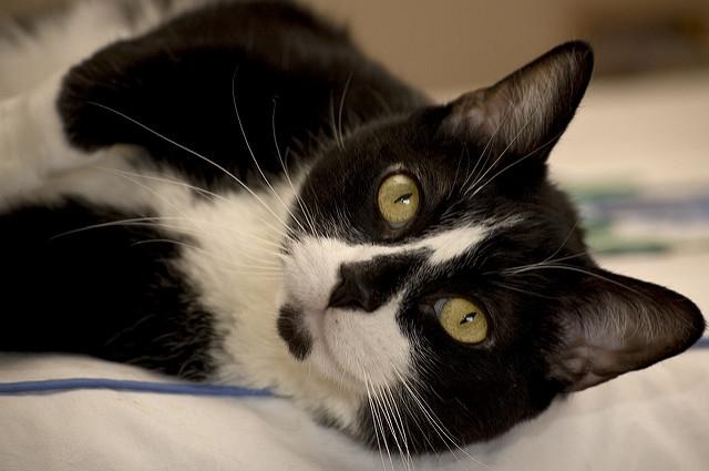 横たわる白黒の猫