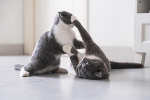 取っ組み合う同じ柄の2匹の猫