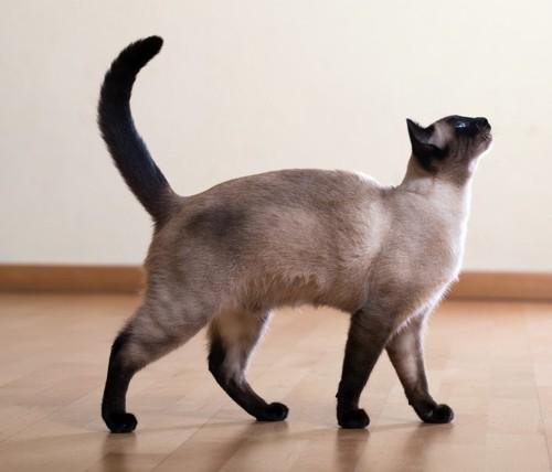 しっぽを立てて見上げる猫