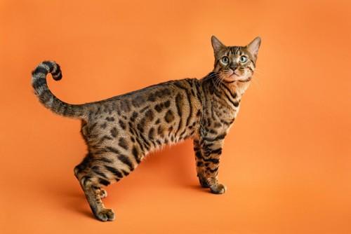 尻尾を曲げている猫