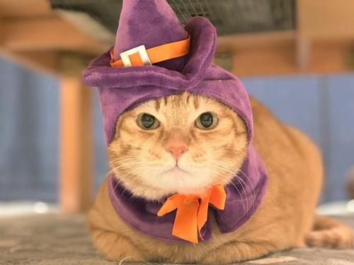 ウィッチ帽をかぶった猫