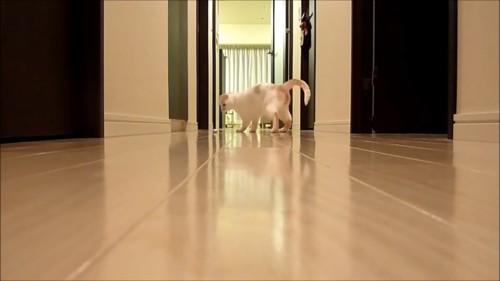 おもちゃを追いかけて廊下の真ん中で止まる猫