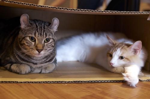 箱で寛ぐ猫