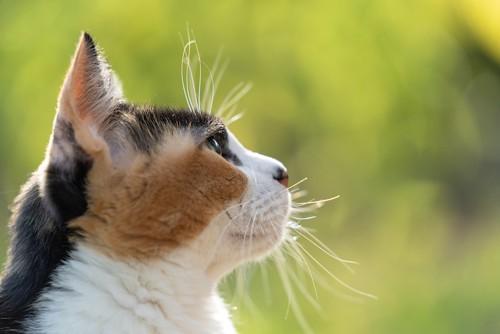 遠くを見つめる三毛猫の横顔