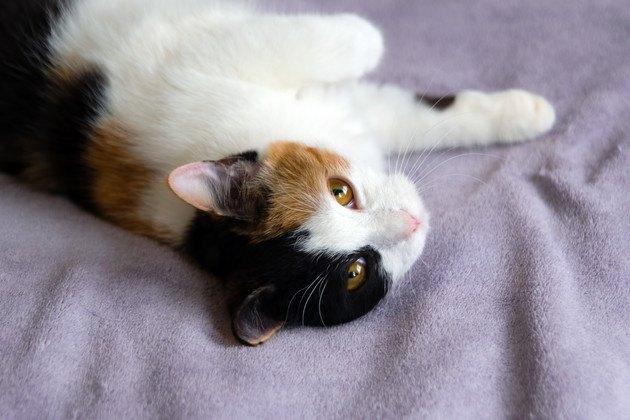 寝起きで少し瞬膜の見える三毛猫