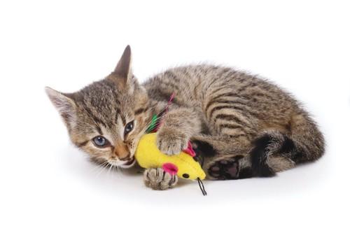 ネズミのおもちゃに噛み付く子猫
