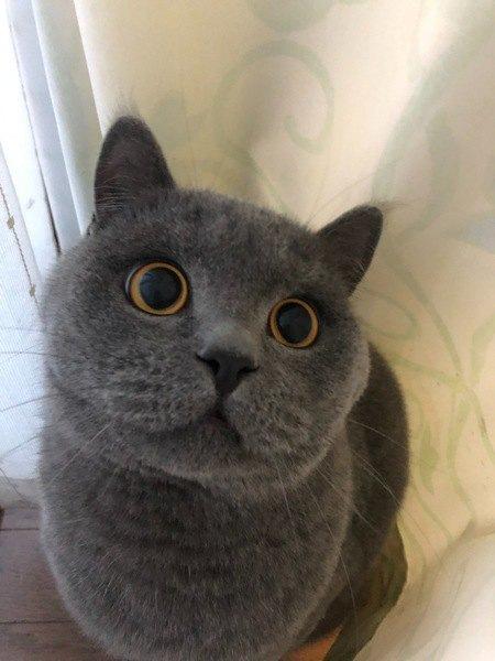 今日の猫ちゃん、丸い目のブリティッシュショートヘア