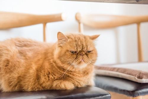 椅子の上で寂しそうにしている猫