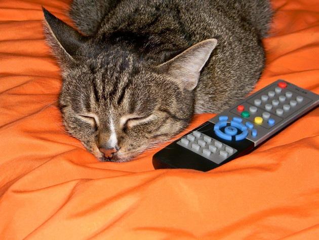 顎を乗せて寝ている猫