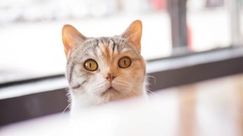 テーブルから顔を出す猫