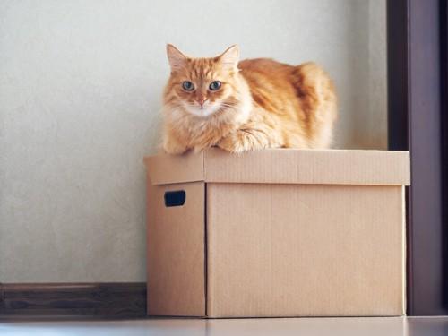 段ボールに座る猫