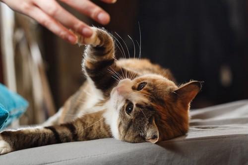 寝転んで飼い主の手にタッチをする猫