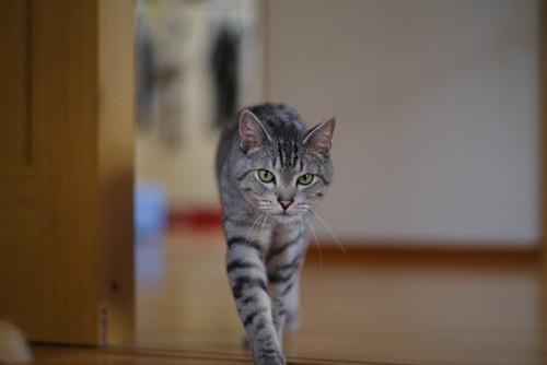 こちらにやってくる猫