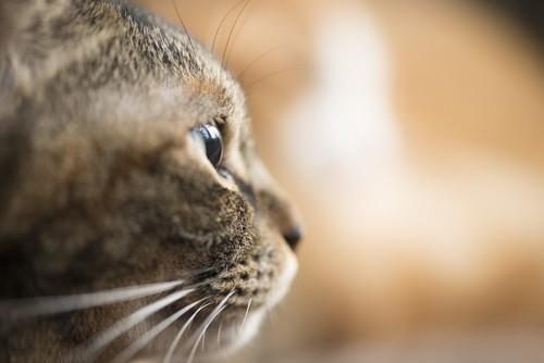 何かを見つめる猫の横顔アップ
