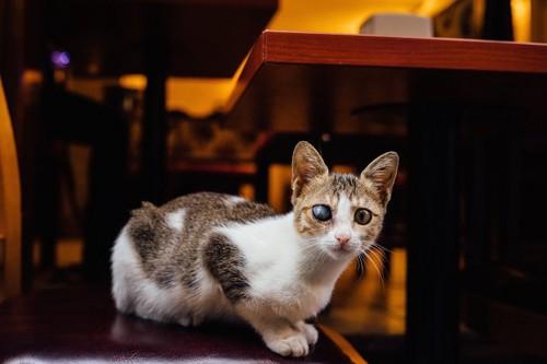 椅子に乗った片目が白く濁った猫
