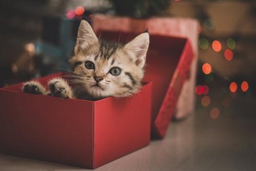 赤いボックスの中に入った子猫