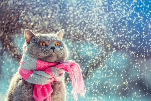 マフラーをする猫