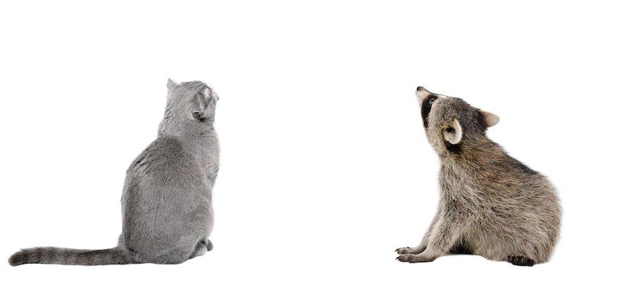 背中を向けて同じ方向を見上げているアライグマと猫