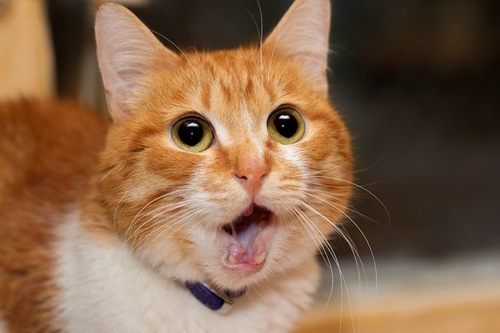 口を開ける茶トラ猫