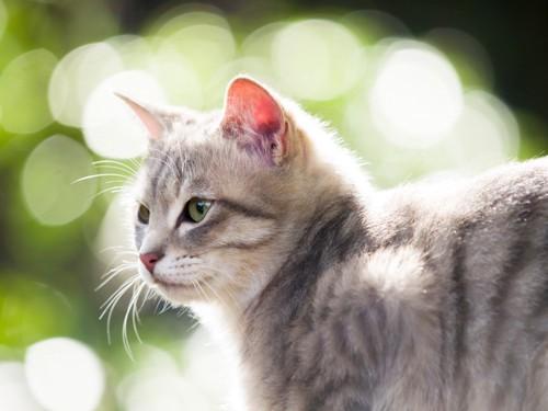 毛が光っている猫