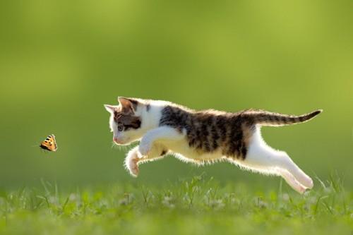 蝶を捕まえようとする猫