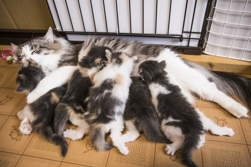 中絶をしていない授乳中の母猫と子猫たち