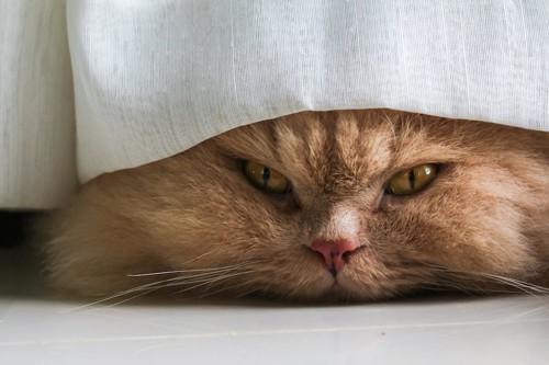 カーテンの下から顔を出す猫