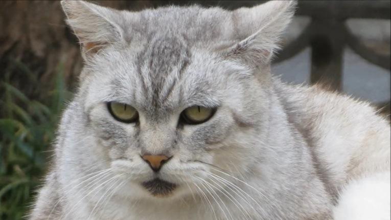 灰色猫の顔アップ