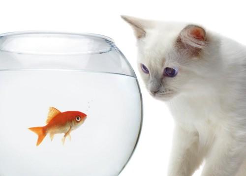 金魚鉢を眺める猫