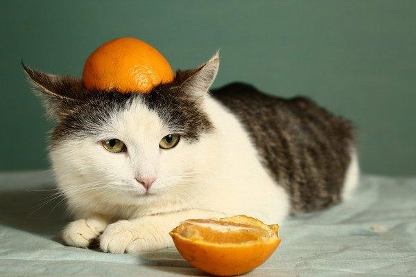 みかんを頭に乗せられた猫