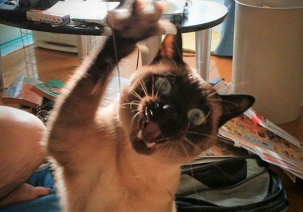 片手を上げてじゃれつく猫