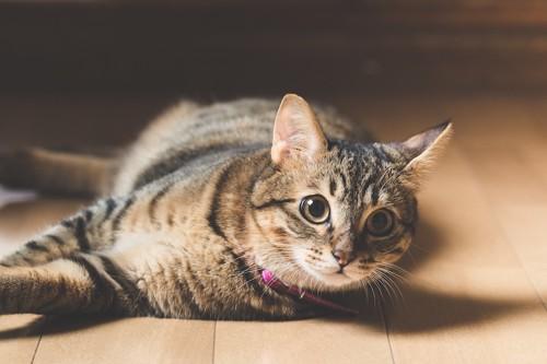 驚いて起き上がる猫