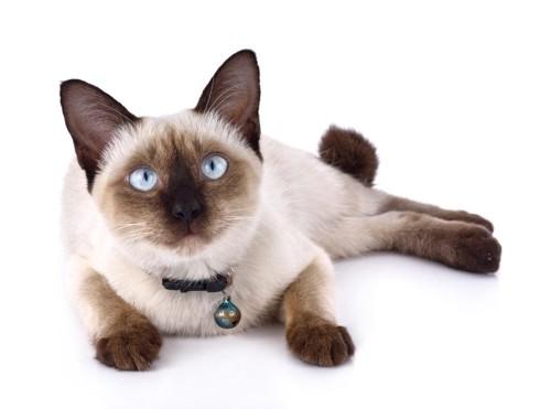 横になっている丸顔のシャム猫