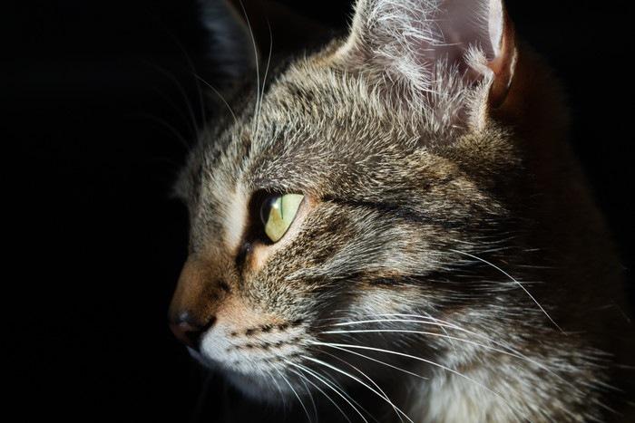 猫の横顔、目