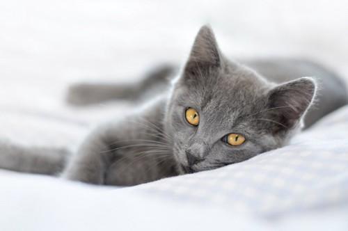 布団の上で寝転がるグレーの猫