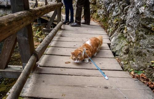 歩くのを嫌がるハーネスをつけた猫