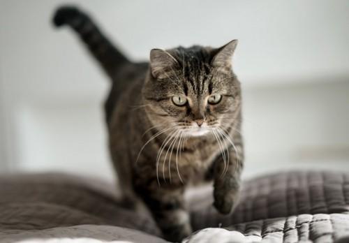 ベッドの上を歩く猫