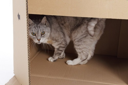 箱の中に逃げる猫
